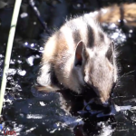 EnviroNews Reporter Tries in Vain to Save Adorable Chipmunk Trapped in Deadly Oozing Tar Sands Bitumen