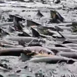 Countless fish gasp for air and attempt to jump out of the Shasta river during one of California's most destructive chemical spills.