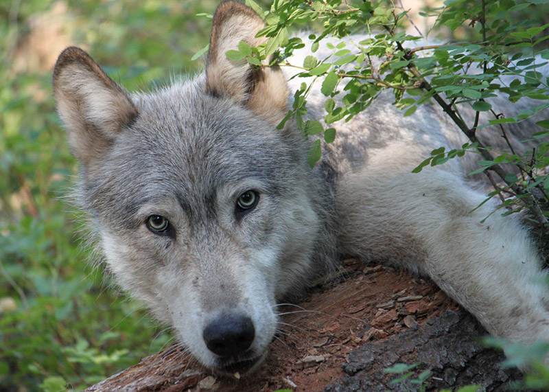 California the First to Ban Predator Prizes While Idaho Forges Ahead With Wolf-Killing Derby