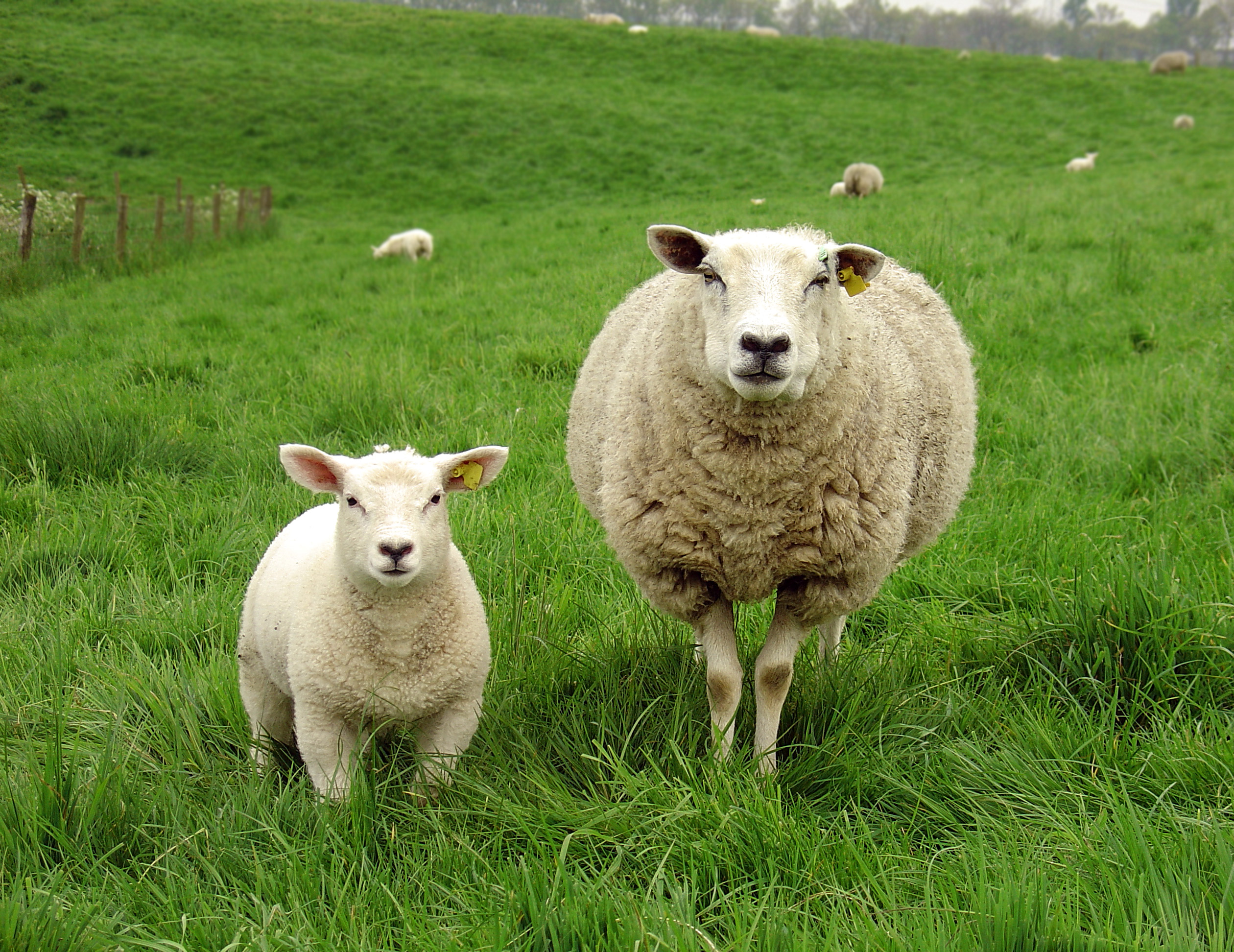 GMO Lamb With Fluorescent Glowing Jellyfish DNA Sent Deliberately to Dinner Plates in France