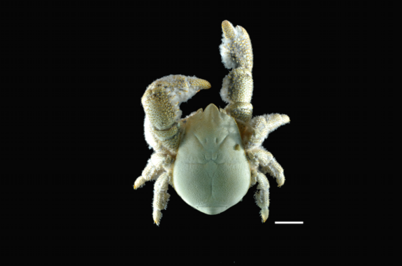 New Wildlife Species Announced: Antarctic Hairy Chested Yeti Crab — It Even Grows Its Own Food!