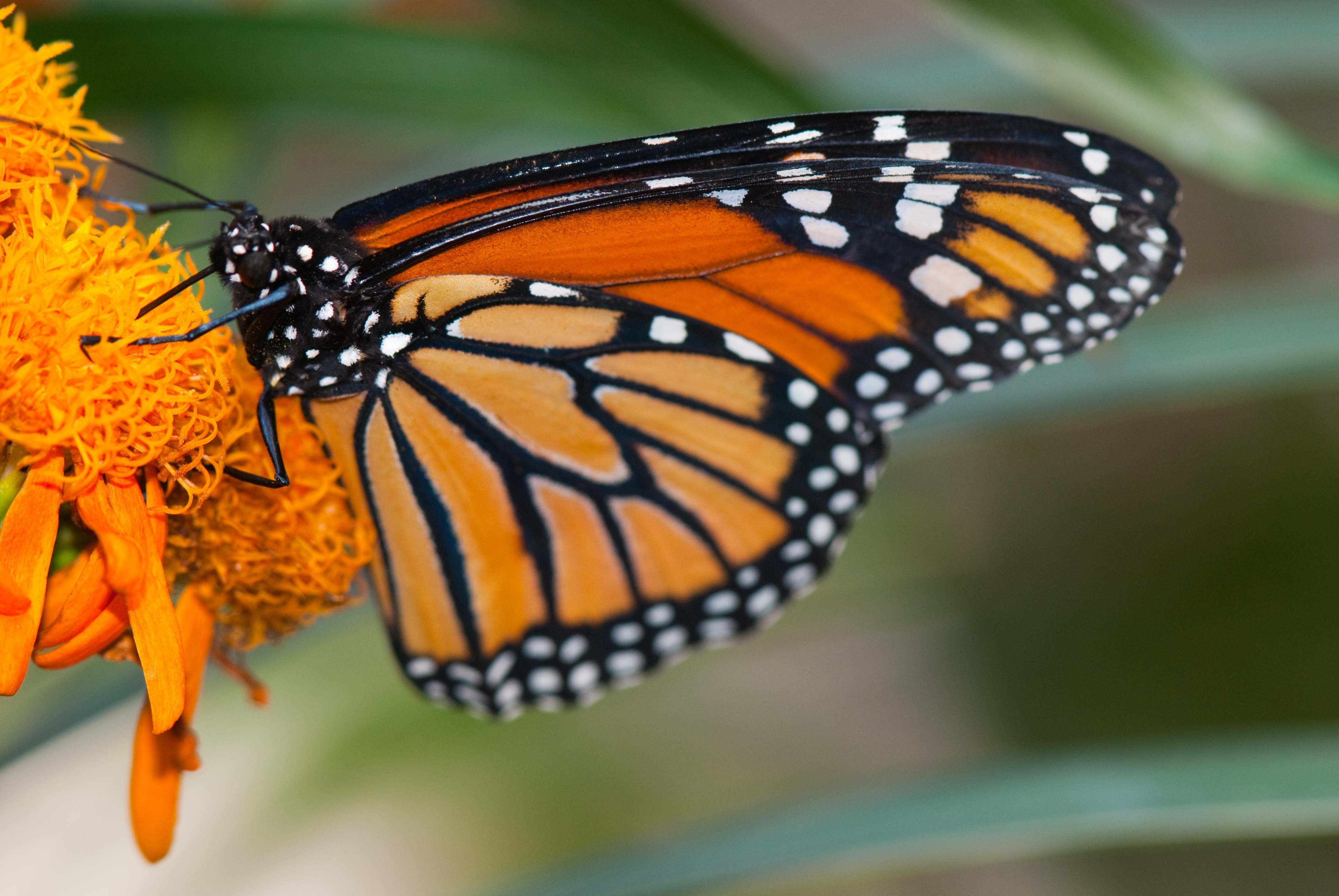 'Monarch Wings Across Ohio' Campaign Launches with Aggressive Effort to Save the Species