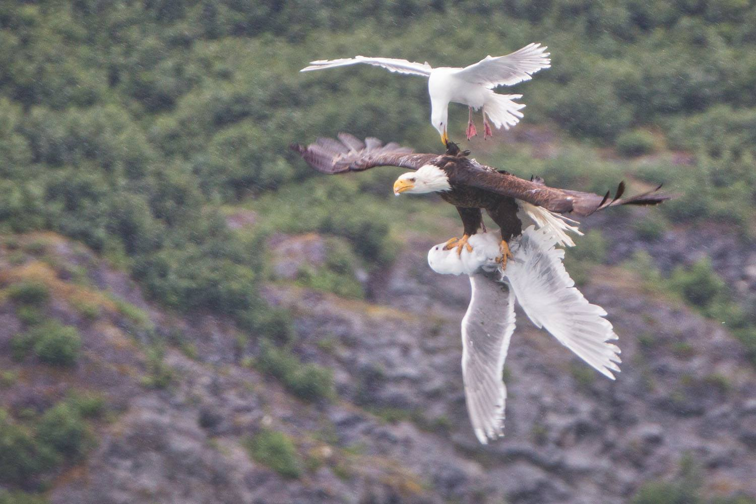 Photo: 2 Seagulls Attack Bald Eagle in Flight — See Who Comes Out on Top