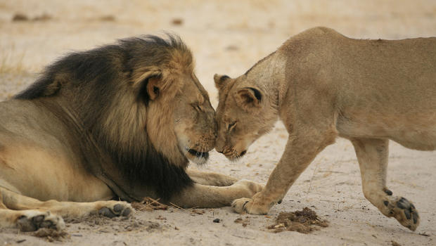 Petition Watch: 'Demand Justice for Cecil the Lion' Growing Like Wildfire Online