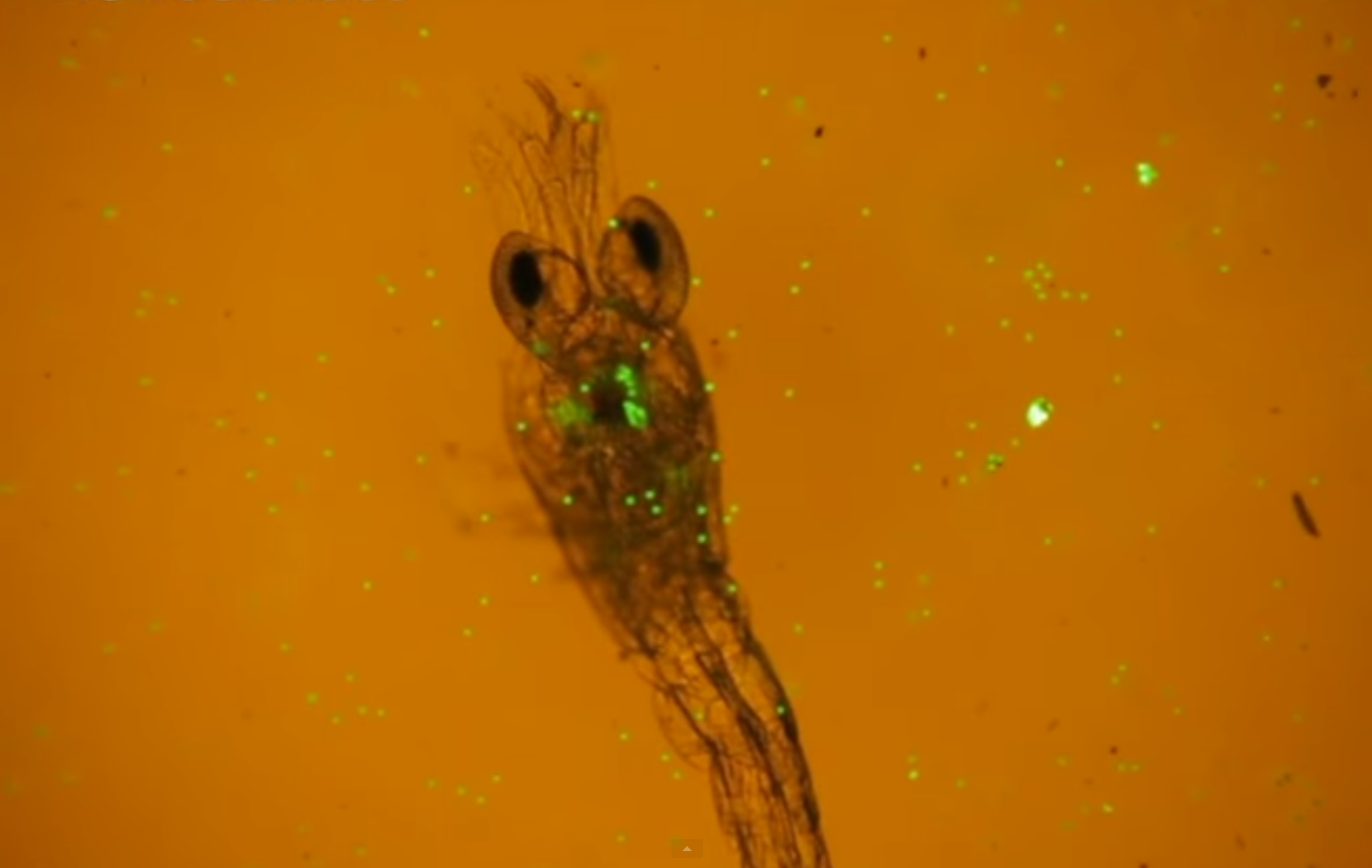 Zooplankton Filmed Feasting on Fluorescent Plastic Microbeads for First Time