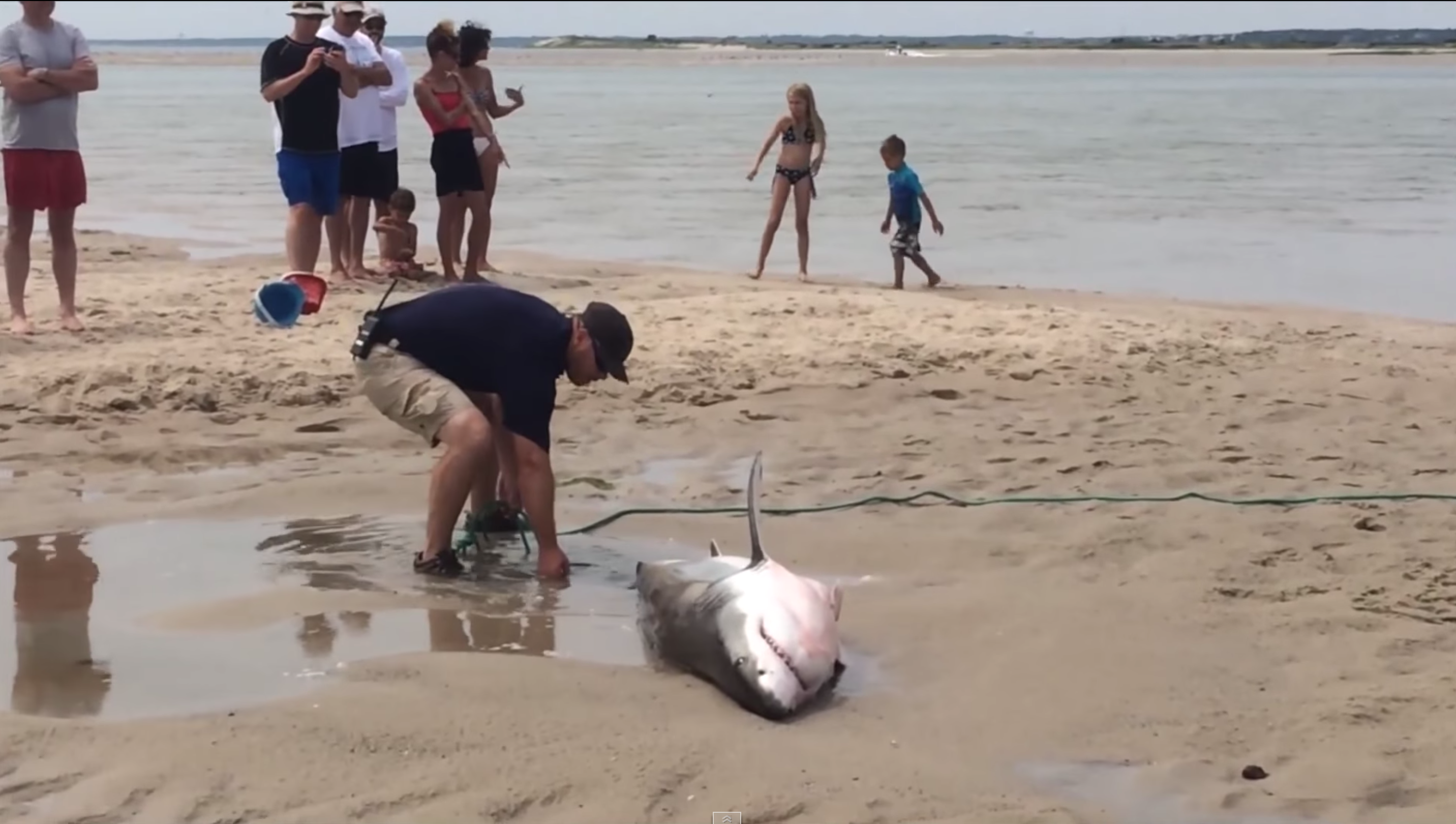 Video: Beached Great White Shark Saved by Brave Citizens in Cape Cod