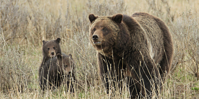 No Fairytale Ending for Yellowstone and the Three Bears After Park Shuns Thousands of Comments