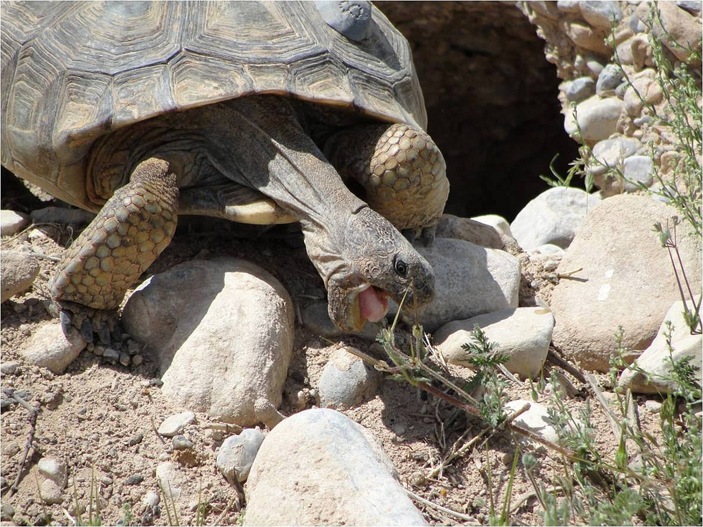 No Endangered Species Act Protection for Sonoran Desert Tortoise, Interior Announces