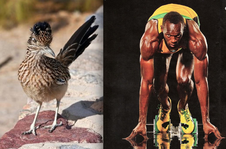 Usain Bolt vs The Roadrunner (The REAL Roadrunner) — Who Would Win?