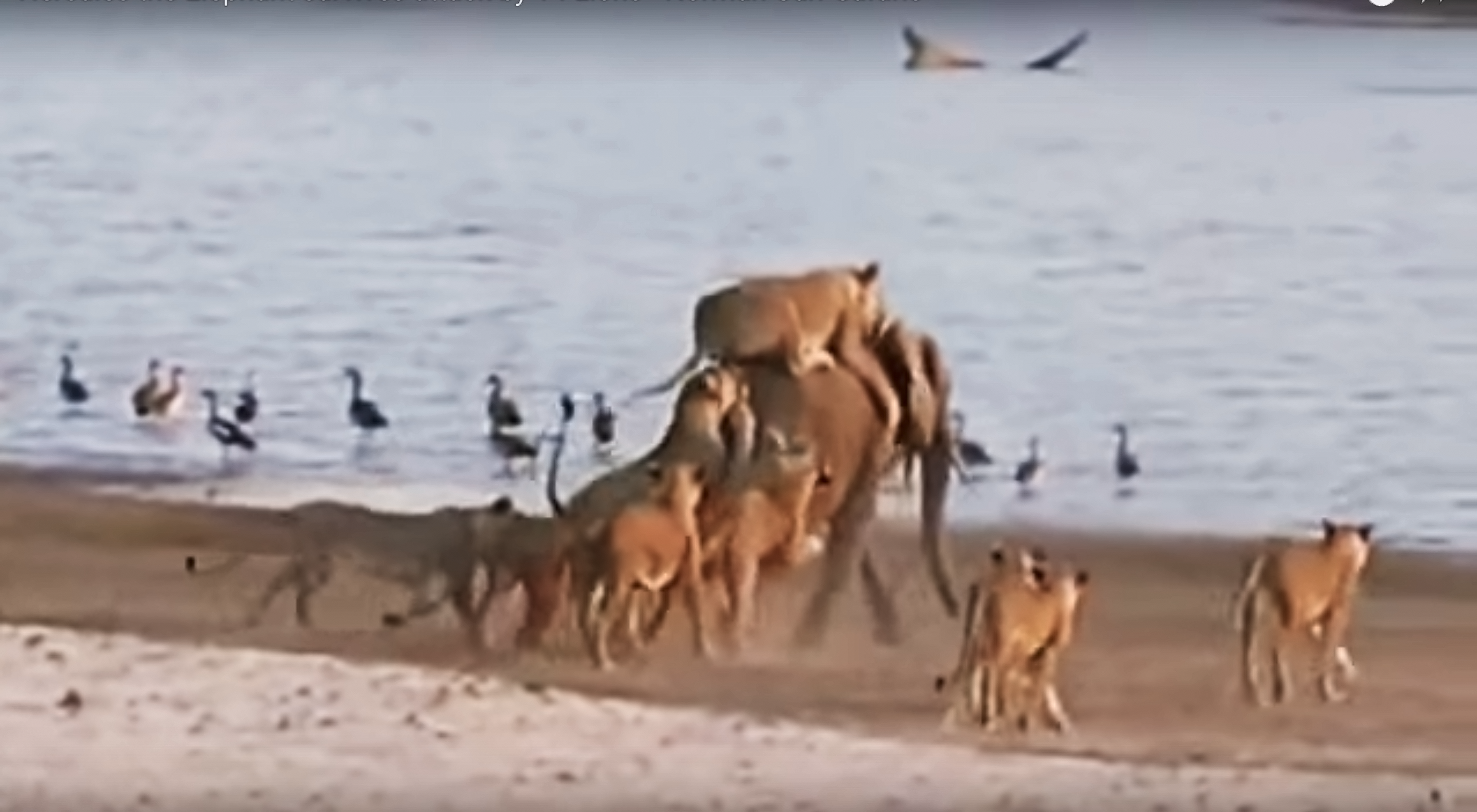 Incredible Video: Baby Elephant Fends Off, Outsmarts, Escapes 14 Attacking Lions