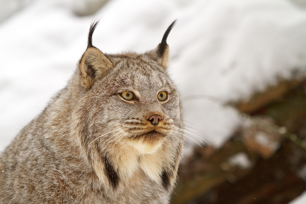 Federal Judge Orders Stop to Canadian Lynx Trapping in Idaho