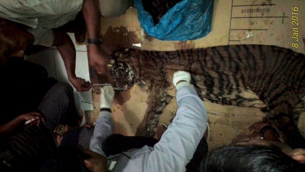 BUSTED! Tiger Poaching Ring Taken Down in Sumatra