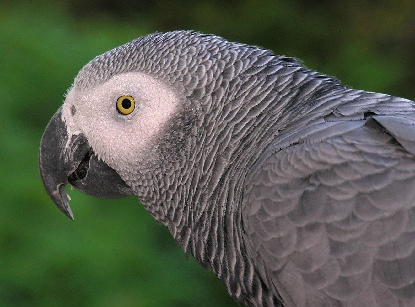 Bird Snatching Bandits Kidnap African Grey Parrot to Near Extinction in Ghana