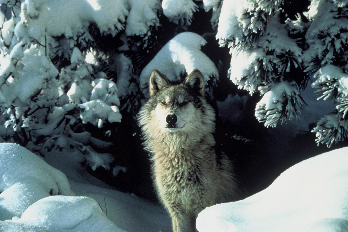Federal Government Sued For Killing Wolves in Oregon