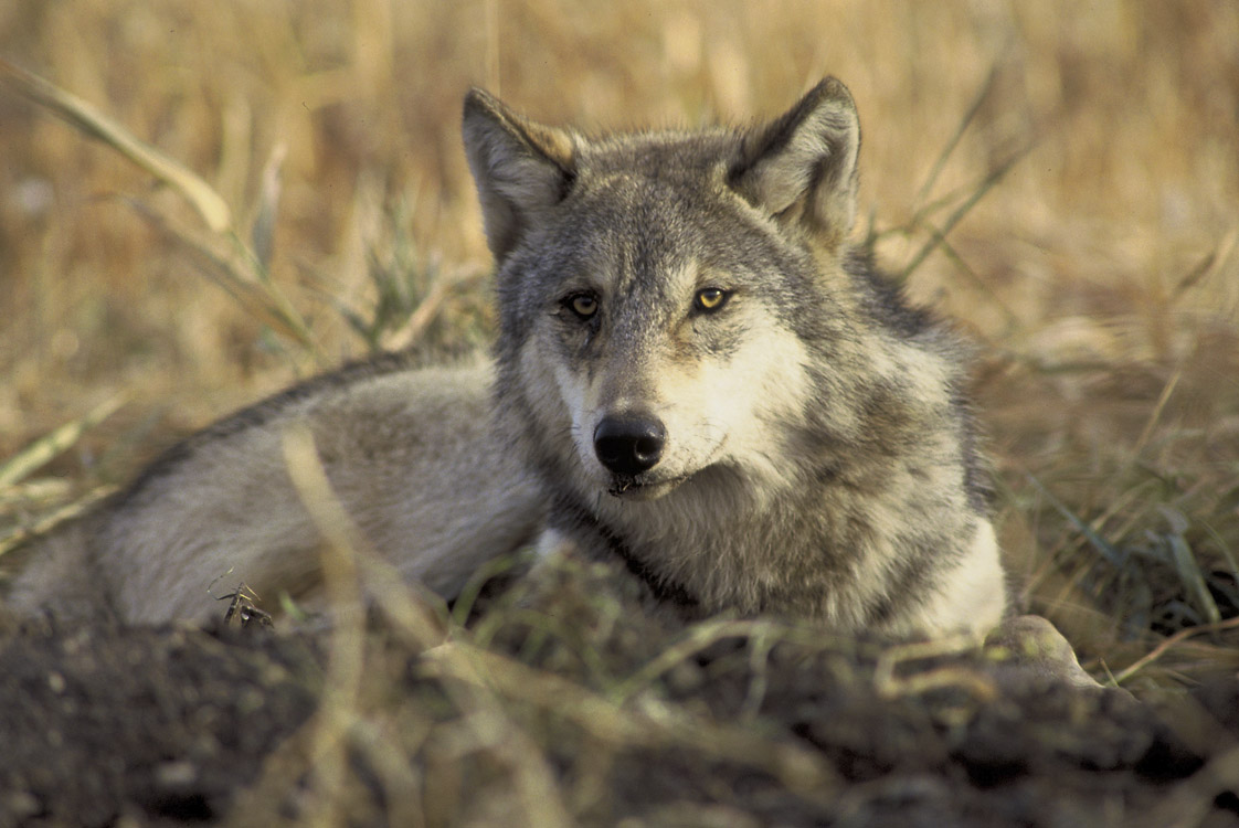 Poll Closed: Should U.S. Government Maintain a Wolf-Killing Program? Yes or No? — View Results