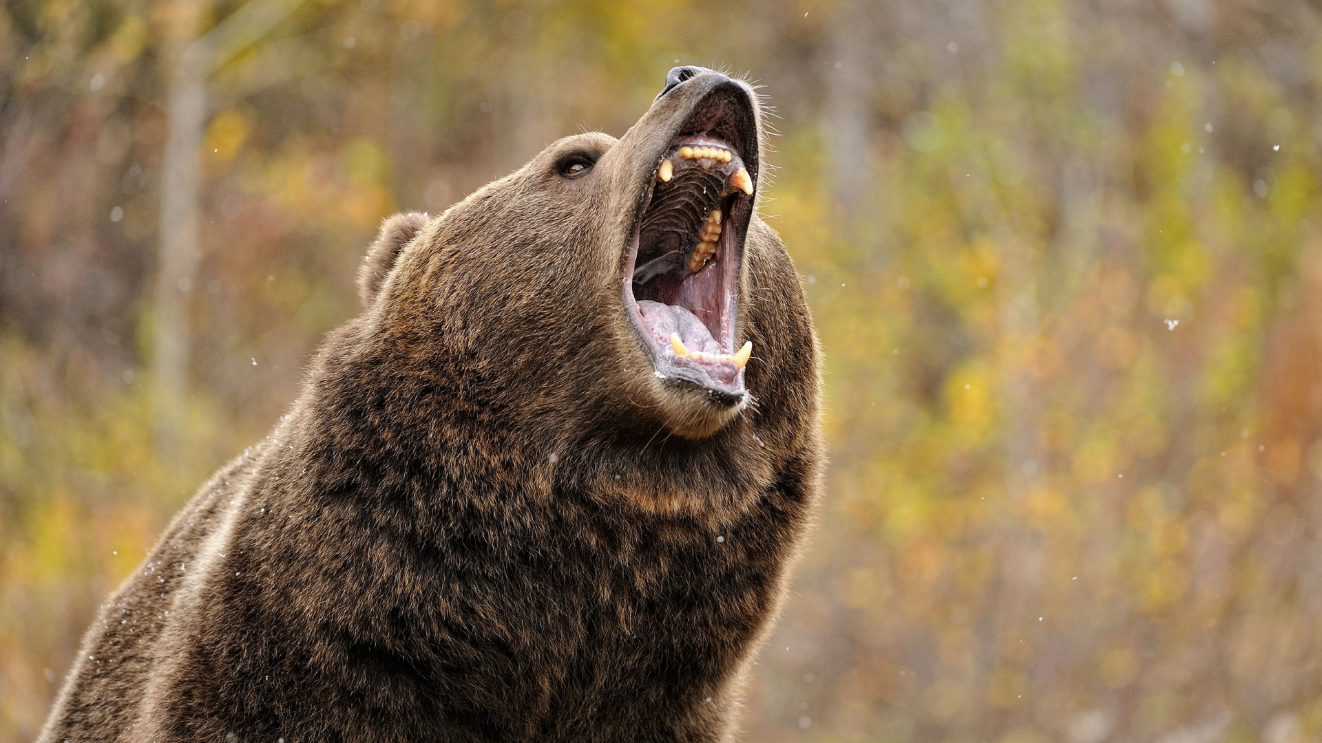 Petition Aiming to Stop Delisting of Yellowstone Grizzly Growing Huge Like a Bear