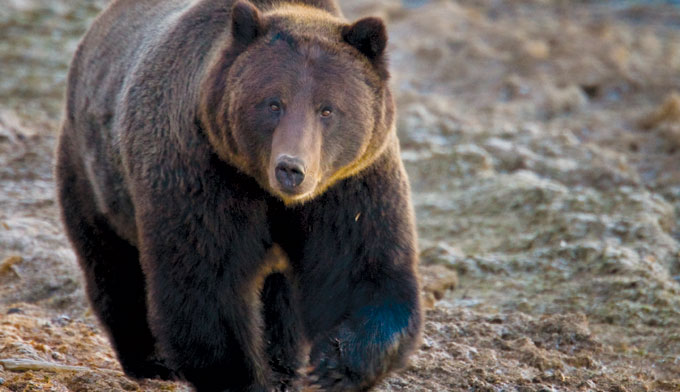 Feds Attempting to Strip Yellowstone Grizzly Bear of Endangered Species Act Protection