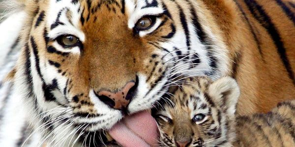 It's Official: Tigers Now Extinct in Cambodia As Groups Scramble to Reintroduce The Species