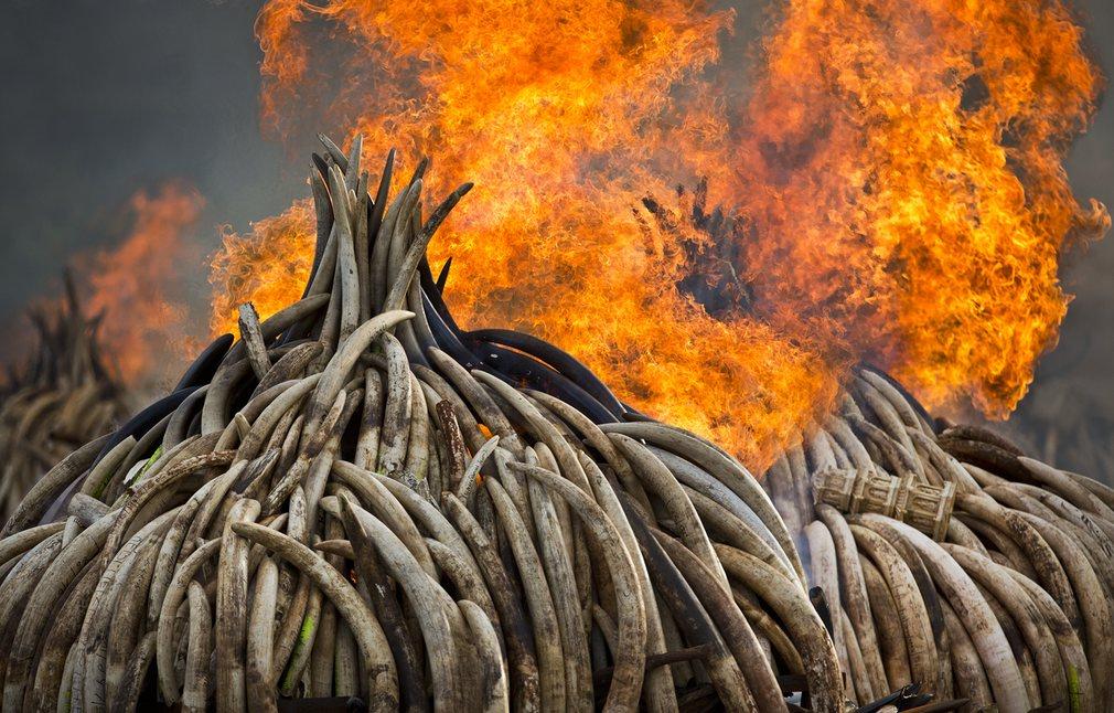 Biggest Ivory Bonfire in World History Goes Down in Kenya in Effort to Stop Elephant Poaching