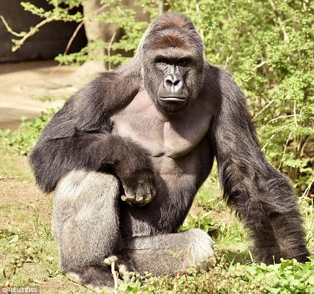 EDITORIAL: Cincinnati Zoo, Not Mother of Boy, Responsible For Death of Endangered Gorilla Harambe