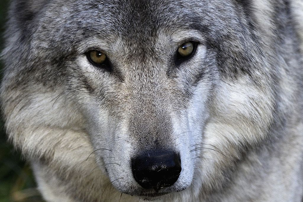 Five Environmental Groups Sue USDA Over Idaho Wolf-Killing Program