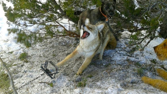 Trapped Coyote Attacked by Wildlife Service Dogs