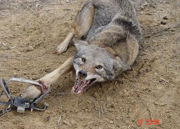 POLL CLOSED: Should USDA's Secretive Wildlife Killing Program Be Abolished? Yes/No — VIEW RESULTS