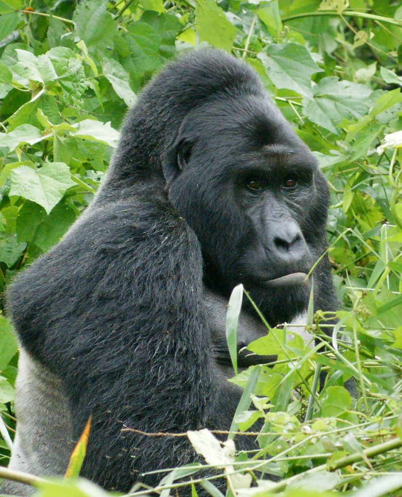Eastern Gorilla -- Photo: Wikimedia Commons