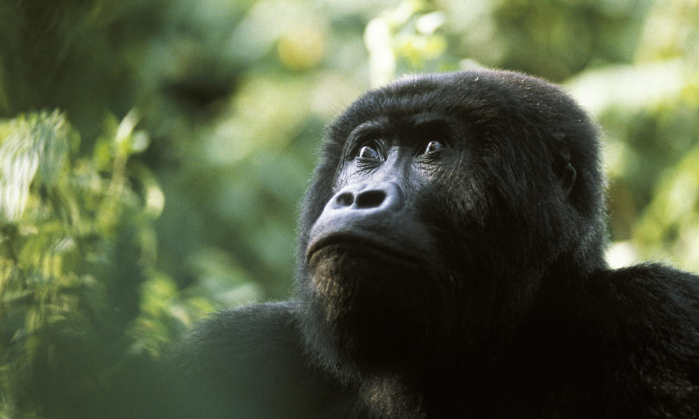 World's Largest Primate, The Mighty Eastern Gorilla, Now Critically Endangered Says IUCN