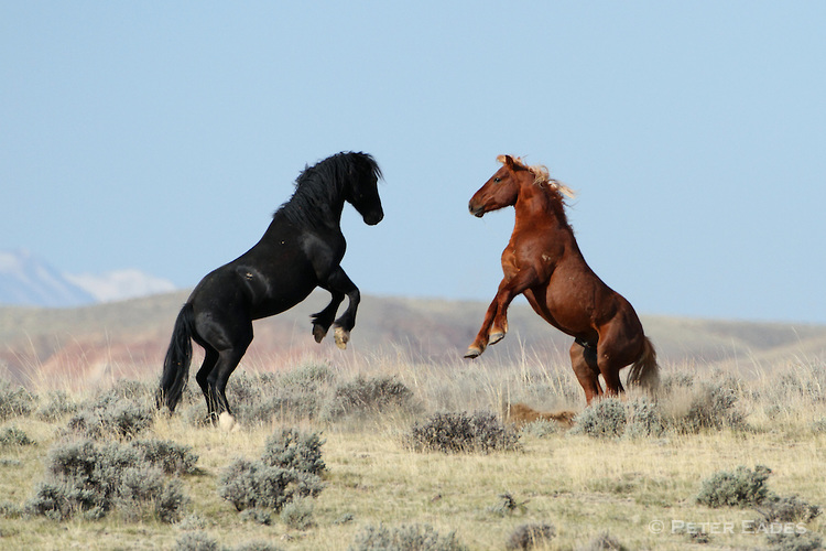 U.S. Government Backs Down on Plan to Slaughter 45,000 Wild Horses Following Public Outrage