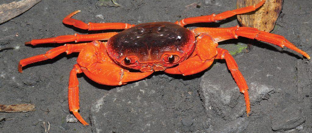 Yue Bei Crab -- Photo: Zookeys -- by: Hsi-Te Shih