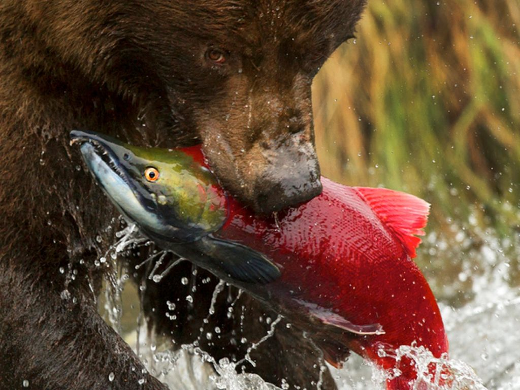 Bear Catching Sockeye