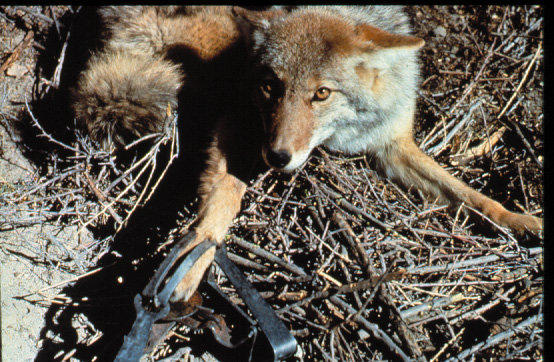 Coyote Caught in Wildlife Services Leghold Trap
