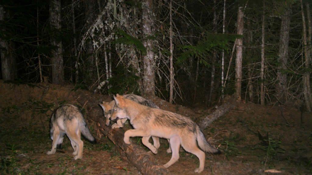 Profanity Peak Wolf Pack