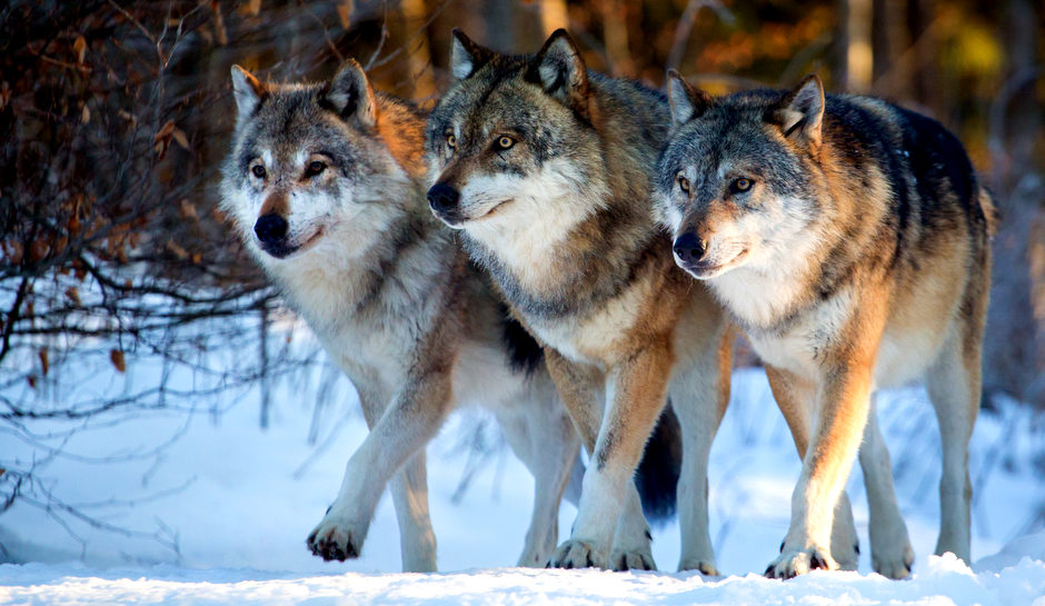 WA State Stops Bloodshed After Massacring Profanity Peak Wolf Pack To Appease Cattle Ranchers