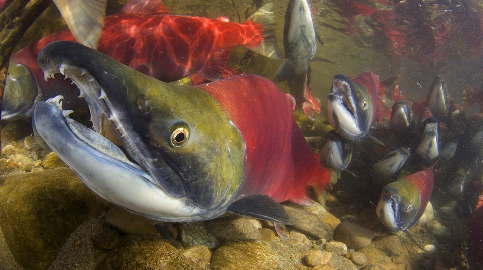 Colossal Pacific Salmon Run Reduced to Rubble — Climate Change To Blame Say Scientists