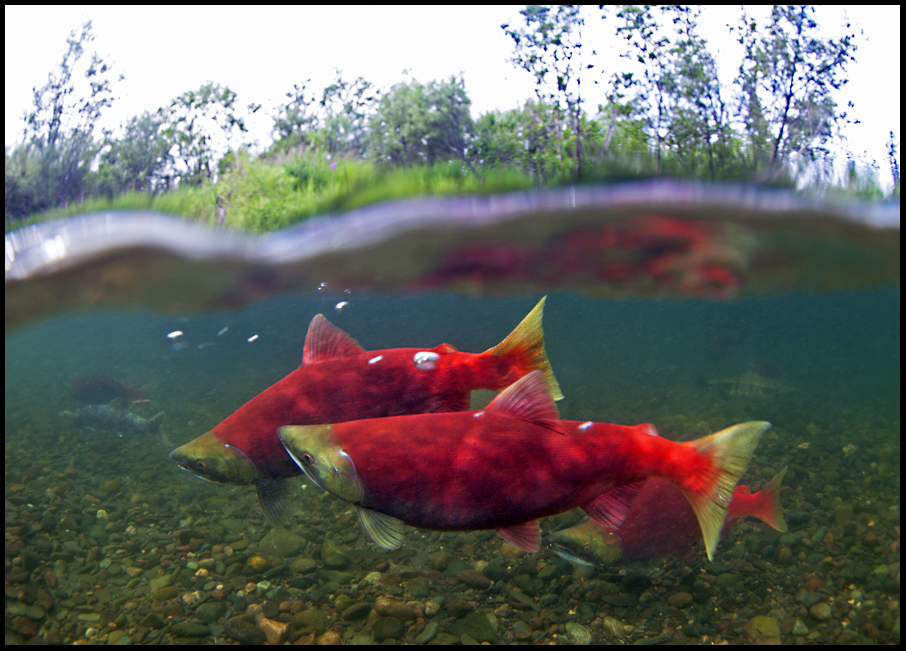 Sockeye Salmon -- Photo: Fish Eye Guy Photography -- by: Pat Clayton