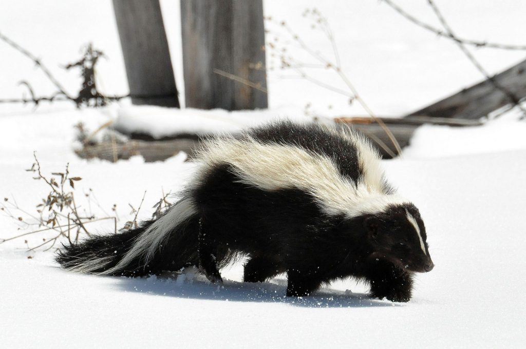 Striped Skunk -- Photo: Wikimedia Commons -- by: Dan & Lin Dzurisin