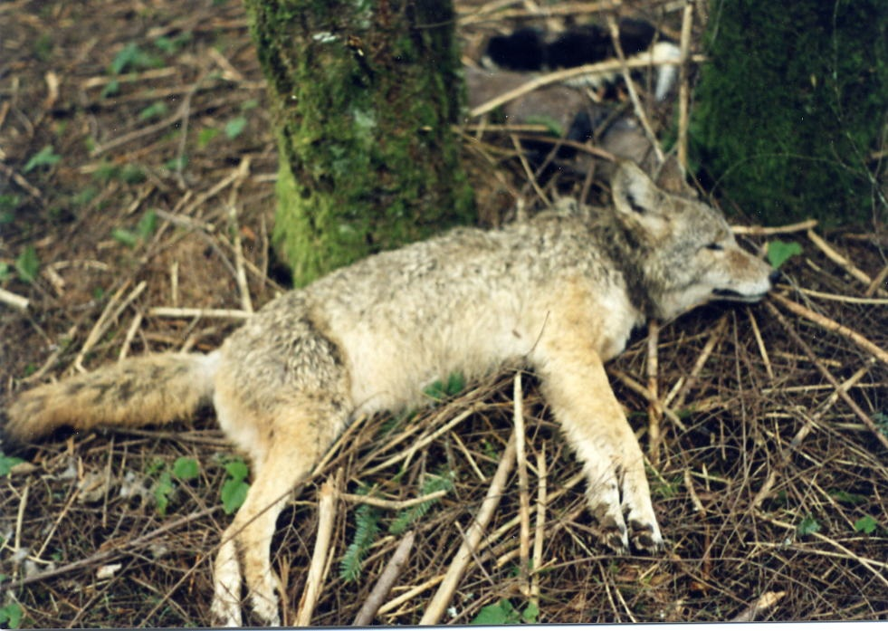 Coyote Killed in Wildlife Services Necksnare