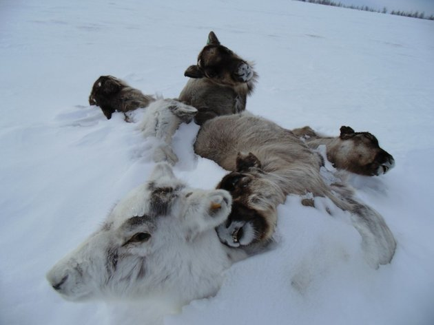 Scientists Fear Anthrax Outbreaks Inevitable As Carcasses Lodged in Permafrost Thaw From Climate Change