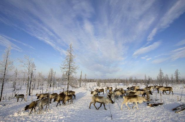 Reindeer Grazing Near Nenets Settlement -- Photo: Vasily Fedosenko, Reuters