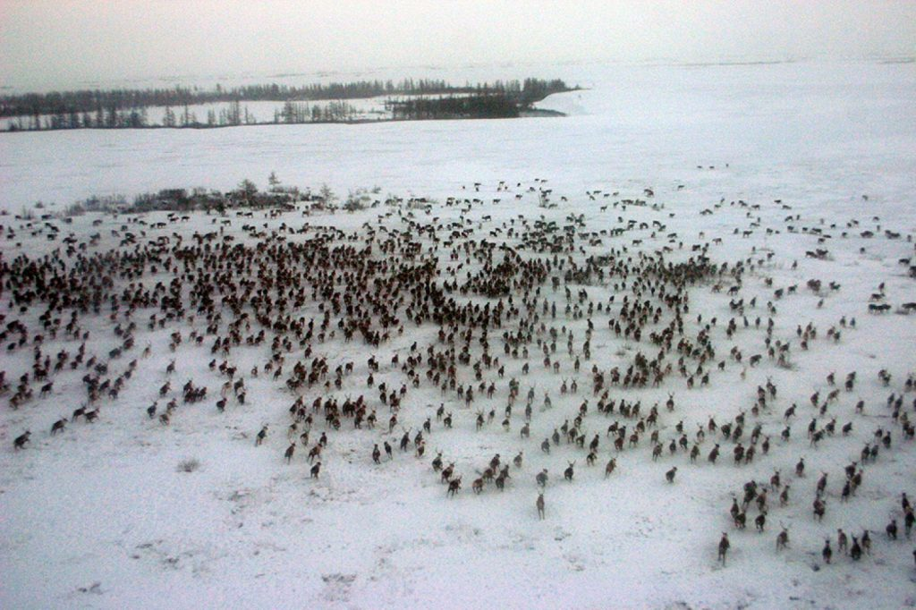 Reindeer Herd on Yamal Peninsula