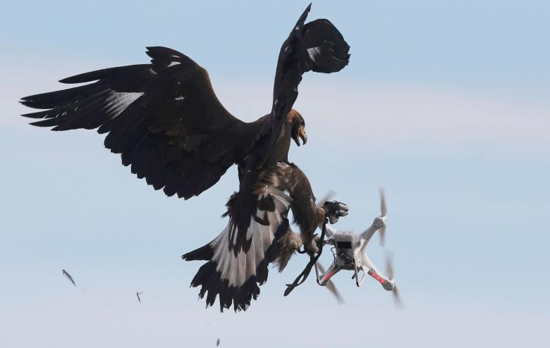 Amazing Video: French Military Training Golden Eagles to Take Out Drones
