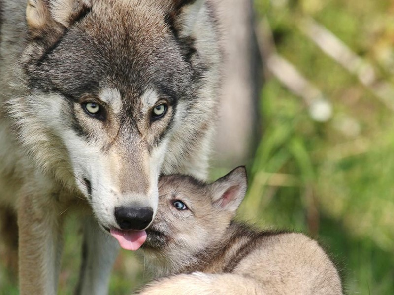 Wyoming Wolves Stripped of Endangered Species Act Protection — Shoot-on-Sight Policy Restored