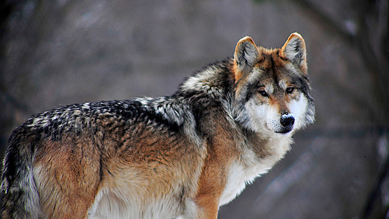Victory for Mexican Gray Wolves: Court Stops Injunction, Allows Releases from Captivity to Proceed