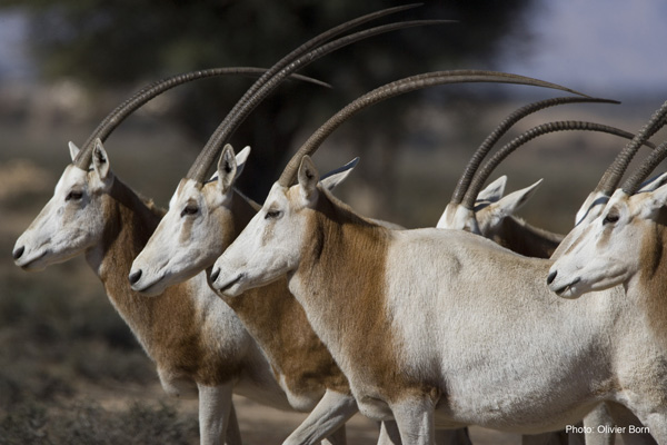 'Conservation Success': Once 'Extinct' Scimitar-Horned Oryx Returned to the Wild in N. Africa