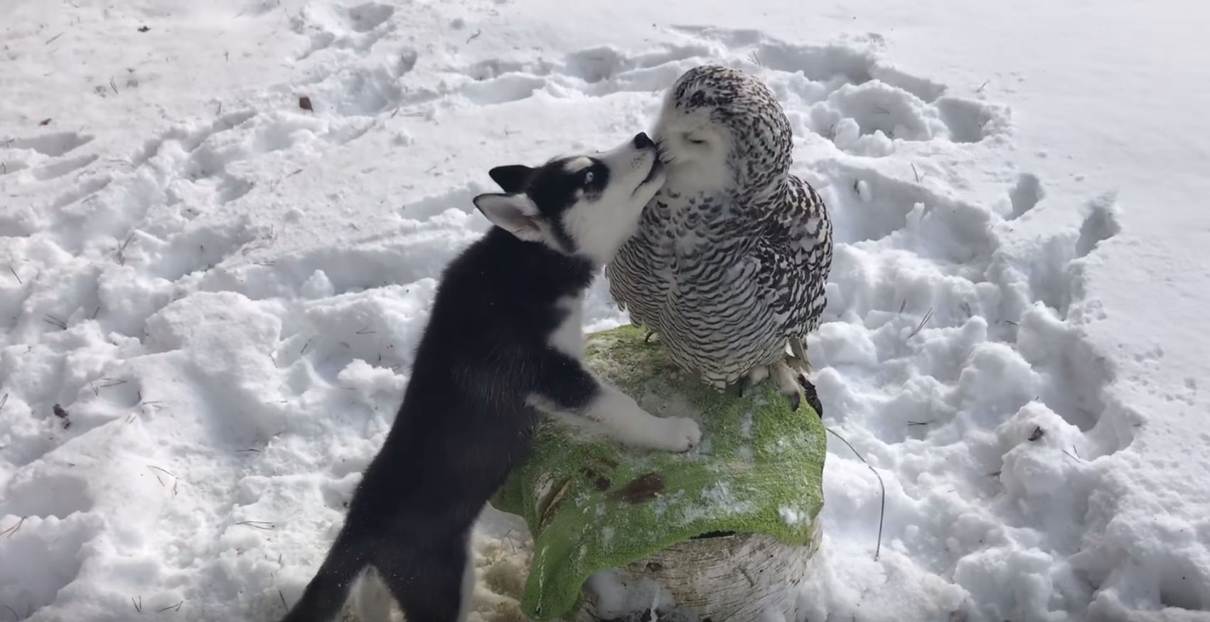 Most Adorable Video Ever: BFFs: Snowy Owl, Husky Pup Lick, Preen and Play With Each Other