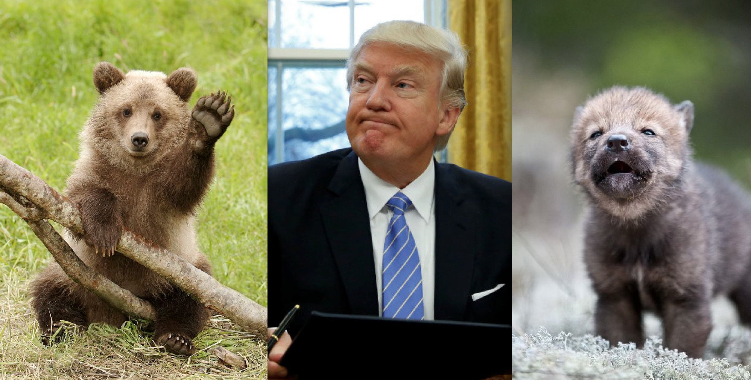 Center for Biological Diversity Sues Trump for Signing HJR 69 Allowing Slaughter of Bear Cubs, Wolf Pups
