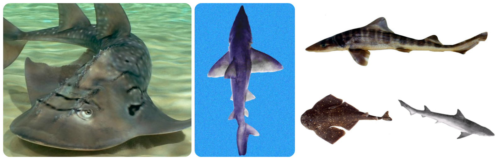 Trump Admin Protects Five Sharks, Guitarfish, Under Endangered Species Act Following Petition