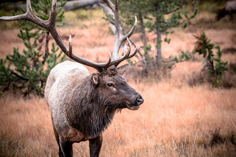 Invasion of the Zombie Elk — Chronic Wasting Disease Spreading Fast, Nearing Yellowstone Herds